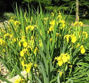 Irisgarten Arrenberg